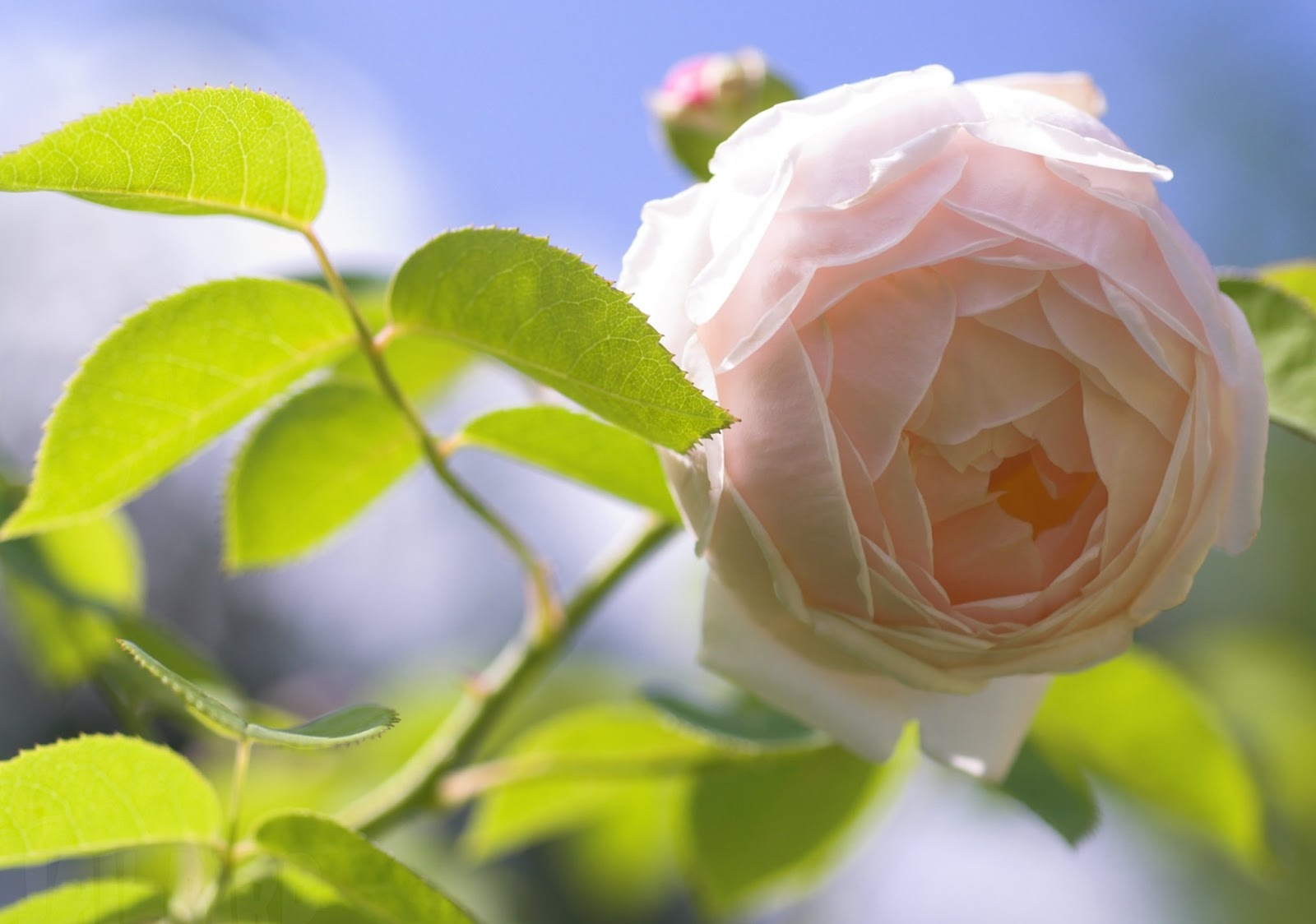 Full Picture: Loving White Rose Flowers Wallpapers