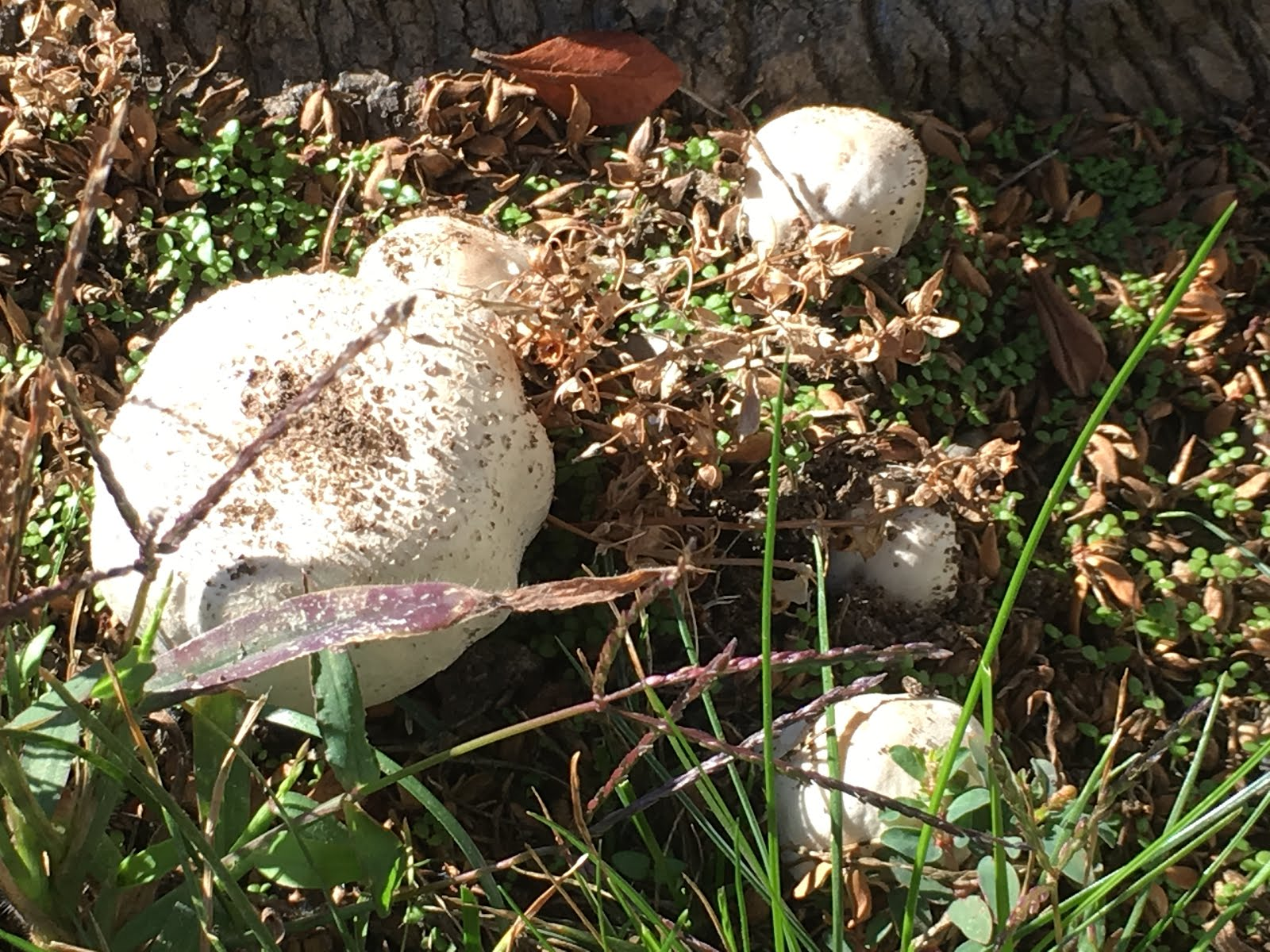 Scrumptious Mushrooms in My Yard, but Poisonous