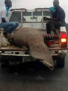 Photos of Giant Fish spotted in Port Harcourt