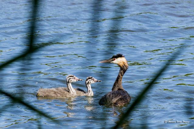 Parque de Salburua, Somormujo con crías