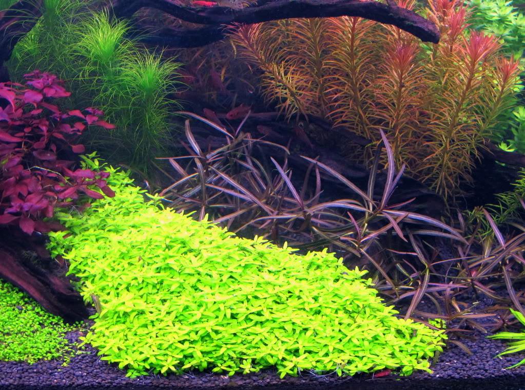 cây đàn thảo cắt tỉa thường xuyên để chúng không mọc cao, tạo thành thảm cỏ đẹp