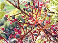 Menengiç dallarındaki menengiç yemişleri