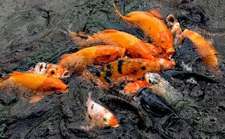 resep umpan mancing ikan mas pakai pelet,resep umpan mancing ikan mas terbaru,resep umpan mancing ikan mas air hijau,resep umpan mancing ikan mas di kolam,resep umpan mancing ikan mas 2015,