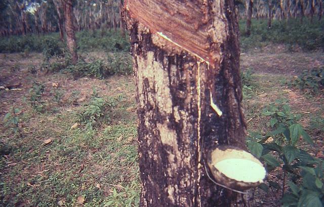 rubber plant,rubber tree