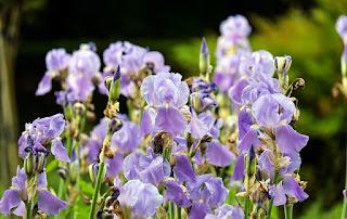 arti bunga iris