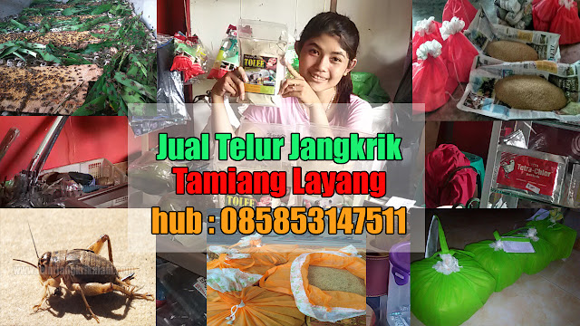 Jual Telur Jangkrik Tamiang Layang Hubungi 085853147511
