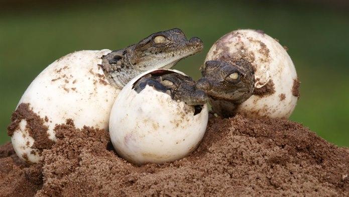 Timsah yumurtlayarak çoğalan hayvanlar