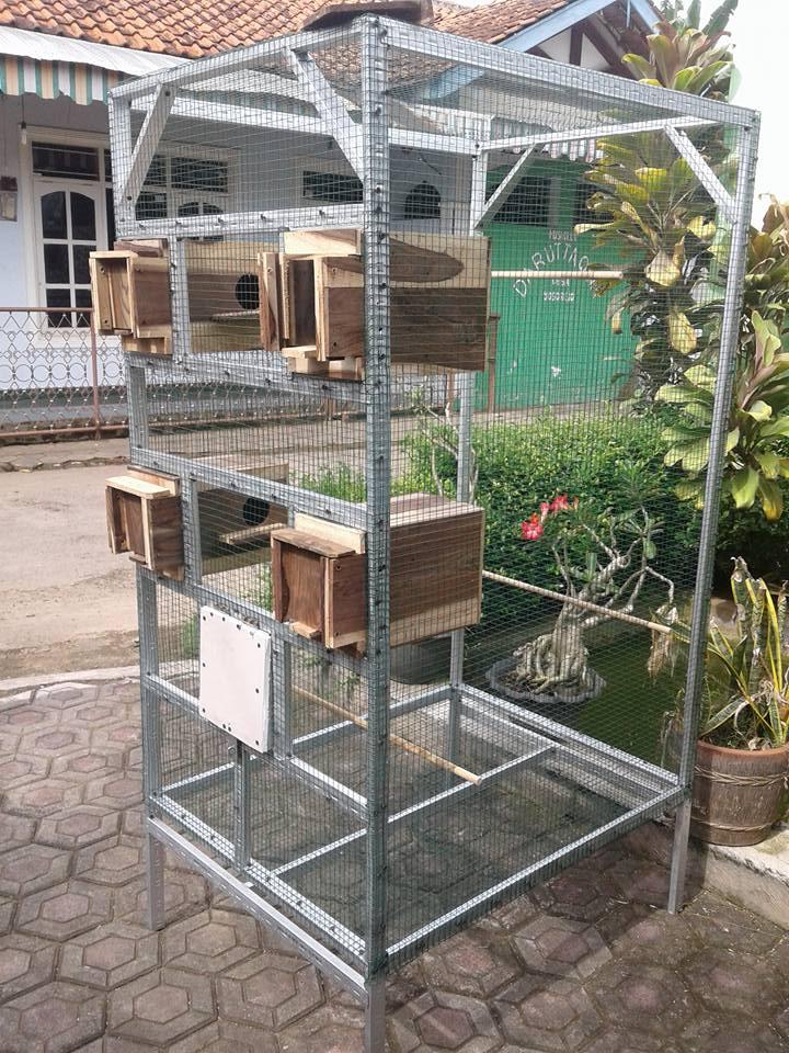 lovebird dakocan murah burung labet
