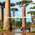 Subhanallah.. Inilah Pohon Raksasa Baobab Yang Dapat menyimpan Ratusan Ribu Liter Air
