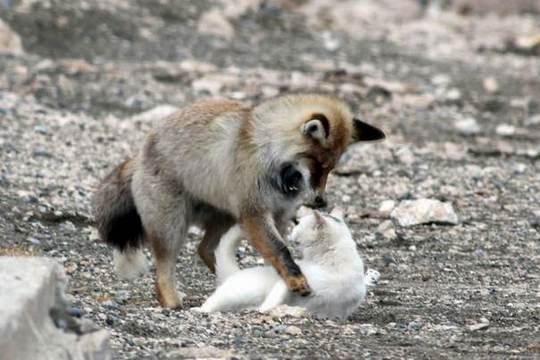 cat fox fighting