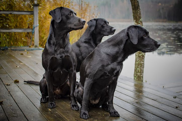 Labrador retriever is a smart dog, know the characteristics of the breed