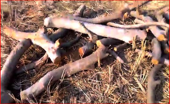 वन विभाग के वरदहस्त से लकड़ी तस्करों के हौसले बुलंद। देखिए वीडियो ...