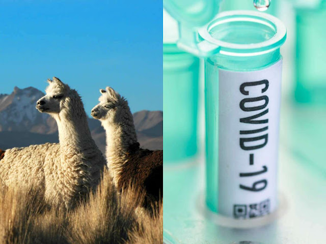 Antibodies found inside Alpacas