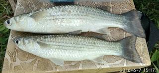 Gambar Ikan Belanak