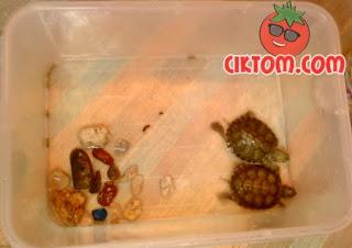 gambar kura-kura kecil dalam akuarium comel