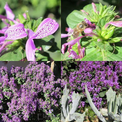 Hypoestes aristata with bee