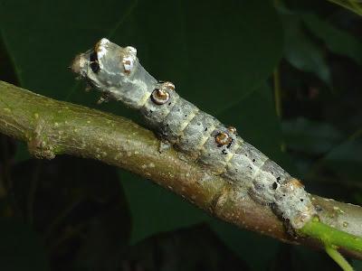 Bombyx mandarina caterpillar