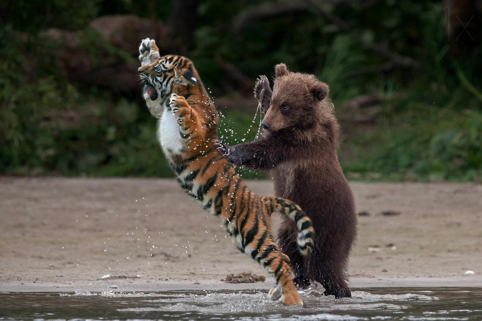 Tiger%253ABaer.jpg