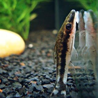 Ikan Otocinclus Algae Eater untuk Aquascape