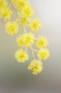 Gambar Bunga Akasia yang Indah 11