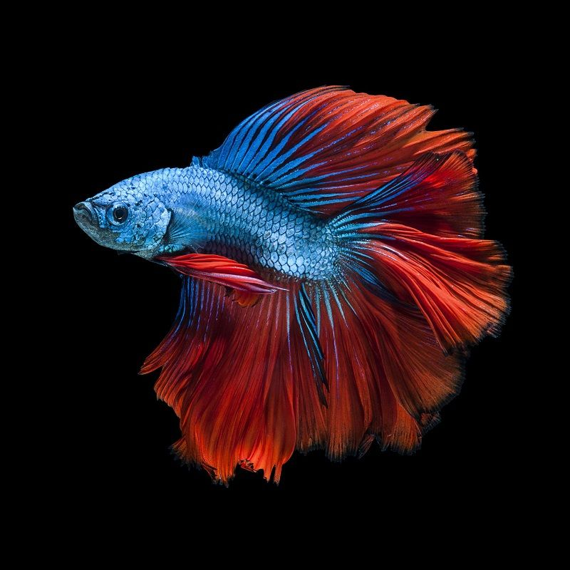 Betta Fish Images 2