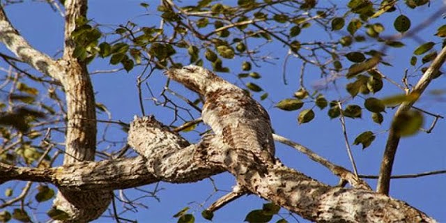 great potoo camouflage