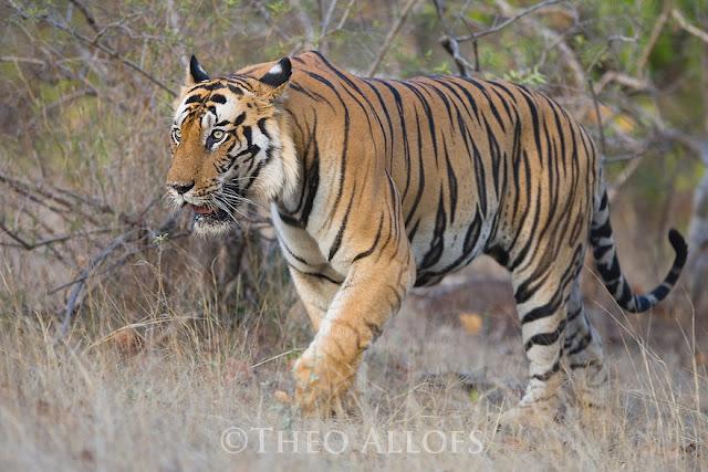 Maharashtra: In a first, bid to reunite strayed cub with tigress through DNA matching
