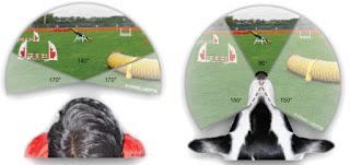 Comparaciones con imagenes de lo que vería una persona y un perro según la posición de los ojos