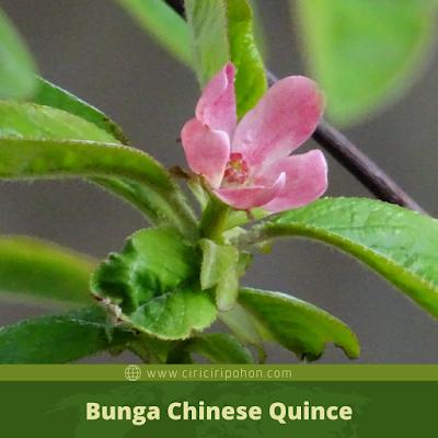Ciri Ciri Bunga Chinese Quince
