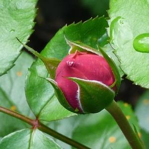 Kuncup mawar (rosebud) =pengakuan cinta, pernyataan cinta