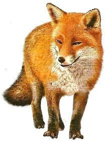 Dibujo de un zorro parado a color