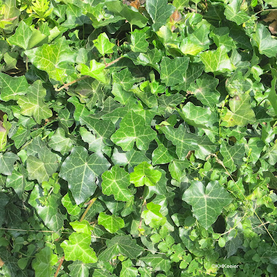 leaves of English ivy, Hedera helix