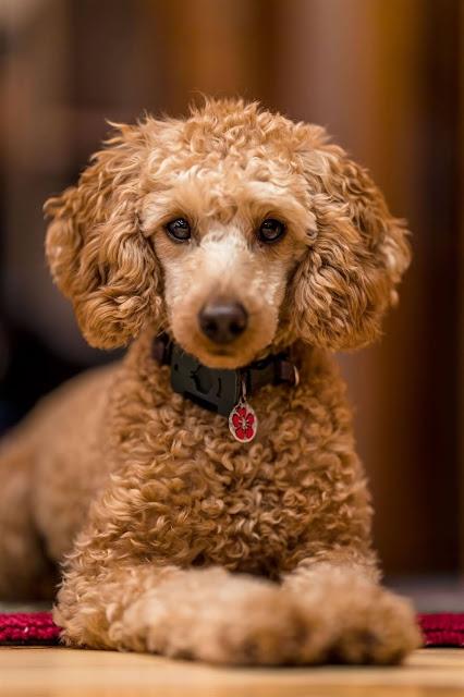 كلب-جريفون كلب-شيواوا كلاب-صغيرة انواع-الكلاب-الصغيرة انواع-كلاب الهاسكي اشرس-انواع-الكلاب كلب-سلوقي هاسكي-ابيض كلاب-البيتبول