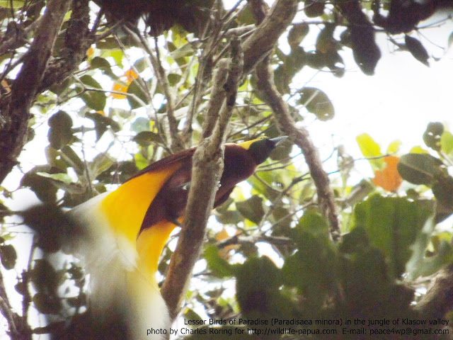 Birdwatching in Sorong regency of West Papua (Malagufuk village)