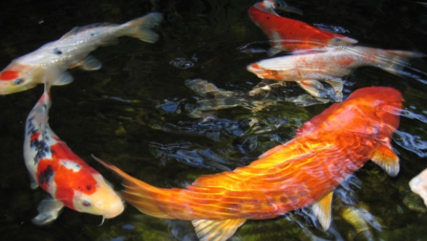 Ikan koi pembawa hoki atau keberuntungan
