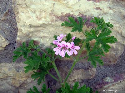 Αρμπαρόριζα: σπορά φύτεμα καλλιέργεια