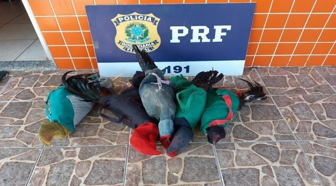 Dupla é detida transportando galos para rinhas, em Sobral, no Ceará