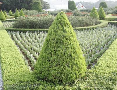 The Herb Gardener: Rosemary Tree Maintenance Tips