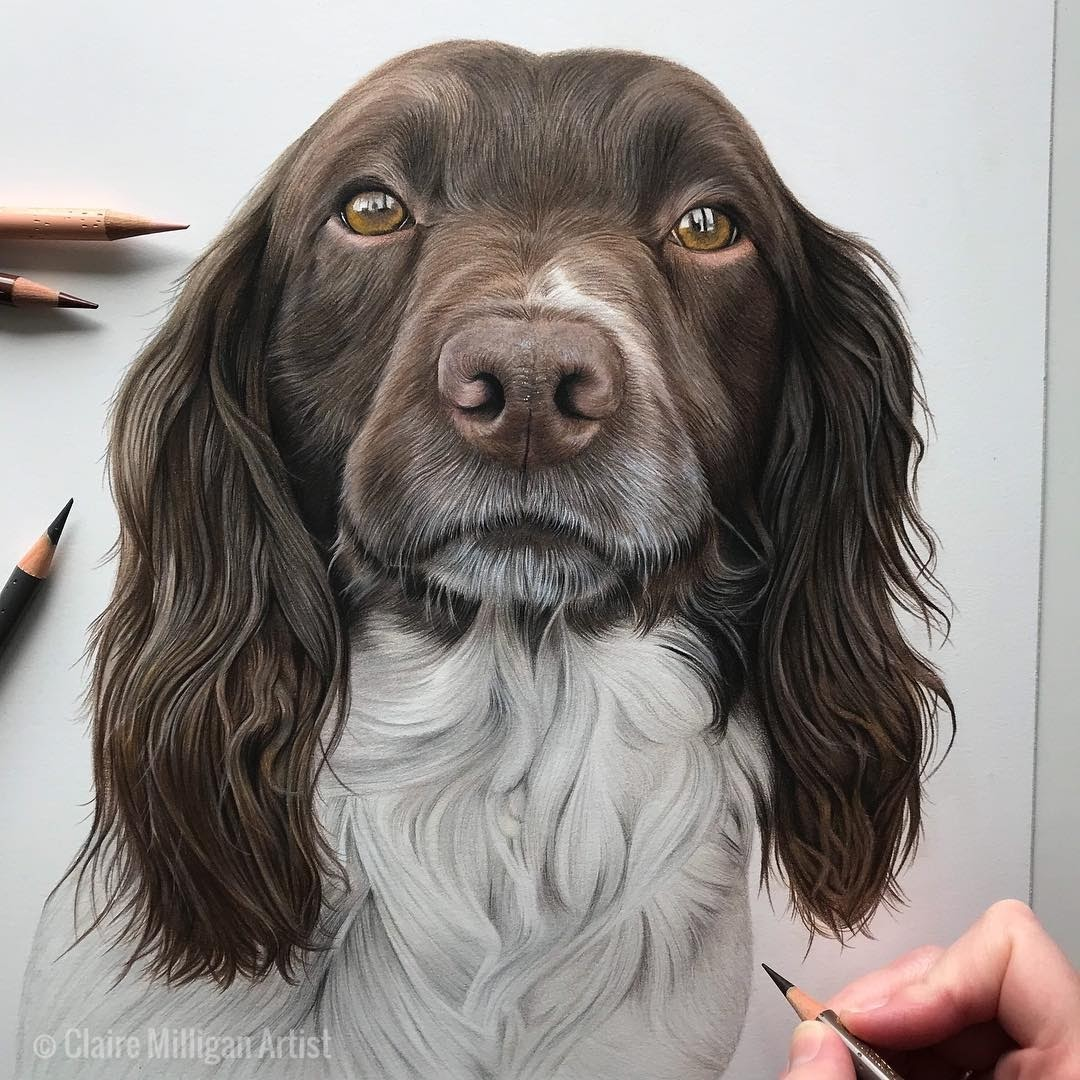 13-Springer-Spaniel-Claire-Milligan-Cats-birds-and-Dogs-Realistic-Animal-Drawings-www-designstack-co