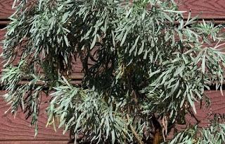 tanaman apsintus pengusir nyamuk