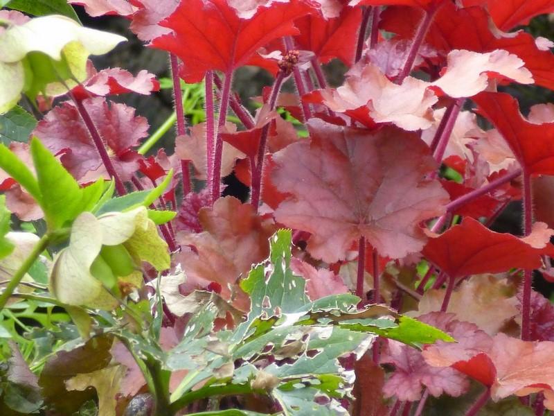 hojas rojas de heuchera