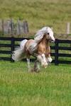 Falabella Atları Genel Özellikleri