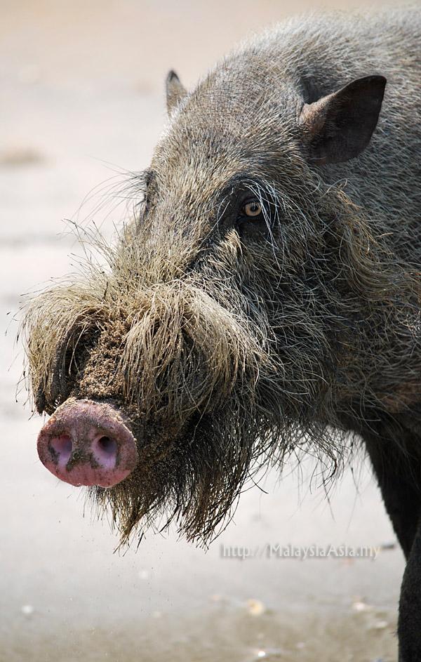 Bearded Pig Photos