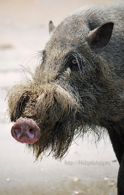 Bearded Pig Photos