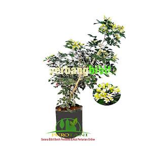 Bibit Bunga Tanaman Hias Kemuning Toko Pertanian Online Indonesia