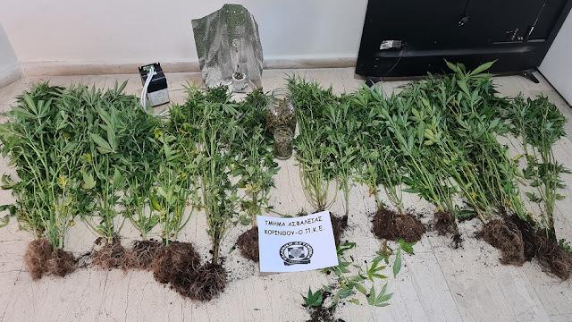 Σύλληψη 35χρονου στην Κορινθία που καλλιεργούσε 20 δενδρύλια κάνναβης