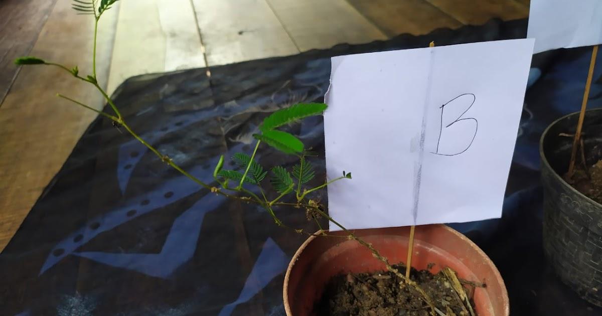 Praktikum Ipa Di Sd Gerak Seismonasti Pada Tumbuhan Putri Malu Atau Mimosa Pudica Wahyudiansyah