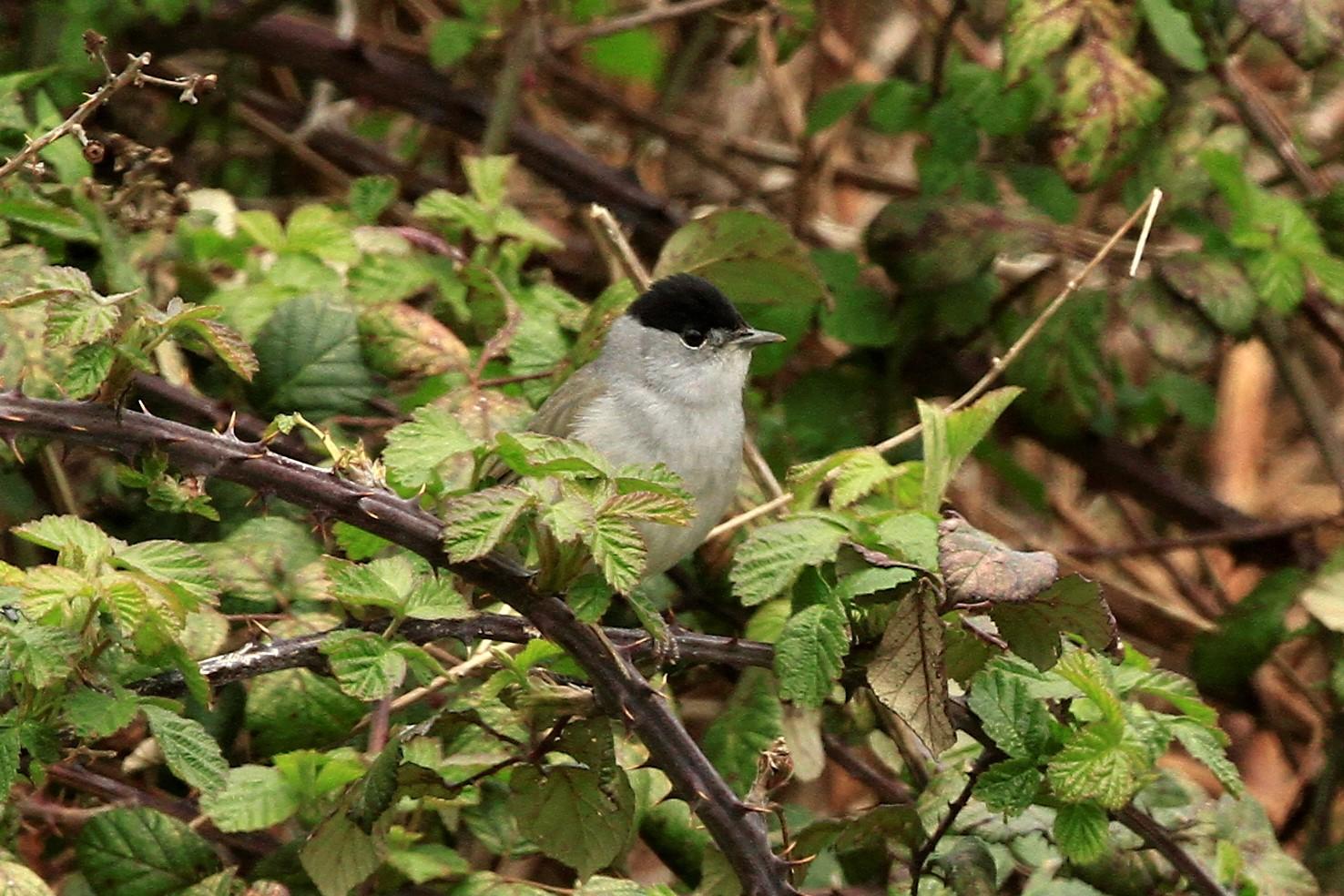 The Breckland Birder: Blackcap
