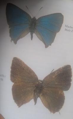 Mariposa esmeralda (Mesocyanophrys acastoides)