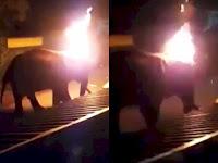 Video Kejam! Gajah Ini Dibakar Hidup-hidup Hanya karena Dekati Resor Pribadi..